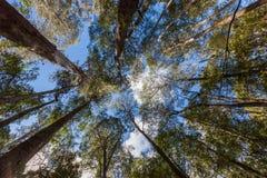 Przyglądająca wysokość up przy wysokimi eukaliptusowego drzewa wierzchołkami w Mt Śródpolny naród Fotografia Stock
