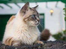 przyglądający się piękny błękitny kot Obrazy Stock