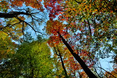Przyglądający up w lesie, korona drzewa niebo Obrazy Royalty Free