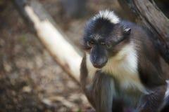 Przygnębiona małpa Zdjęcia Stock