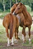 przygotować konie każdego innego Obrazy Royalty Free