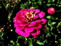 przygotowania piękne kwiatu menchie Obrazy Royalty Free