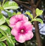 przygotowania piękne kwiatu menchie Obraz Royalty Free