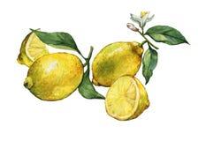 Przygotowania z całej i plasterka świeżą cytrusa owoc cytryną ilustracja wektor