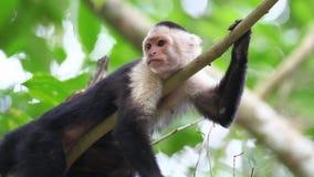 Przygotowywać Capuchin Dzika Stawiająca czoło małpa (Cebus capucinus) zbiory