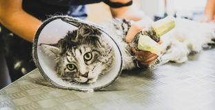 Przygotowywać manul w kabinie fachowa opieka dla kotów Felis m obraz royalty free