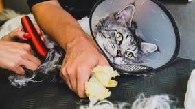 Przygotowywać manul w kabinie fachowa opieka dla kotów Felis manuln zdjęcia royalty free