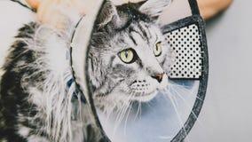 Przygotowywać manul w kabinie fachowa opieka dla kotów Felis manuln obrazy royalty free