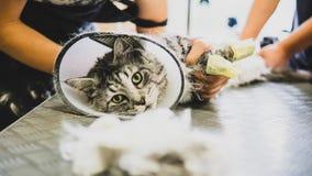 Przygotowywać manul w kabinie fachowa opieka dla kotów Felis manuln fotografia stock