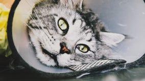 Przygotowywać manul w kabinie fachowa opieka dla kotów Felis manuln zdjęcia stock