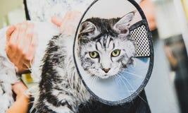Przygotowywać manul w kabinie fachowa opieka dla kotów Felis manuln obraz stock