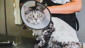 Przygotowywać manul w kabinie fachowa opieka dla kotów Felis manuln zdjęcie stock