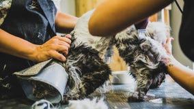 Przygotowywać manul w kabinie fachowa opieka dla kotów Felis manuln obrazy stock