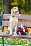 Przygotowywa Cocker Spaniel szuka panny młodej z bukietem czerwone róże obrazy stock