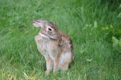 Przygotowywać królika w zielonej trawie Zdjęcia Stock
