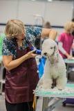 Przygotowywać psy przy przedstawieniem Zdjęcia Royalty Free