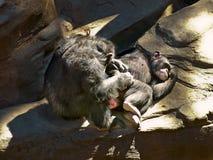 Przygotowywać szympansy Zdjęcia Royalty Free