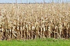 Przygotowywa Zbierać Kukurydzanego pole zdjęcia stock