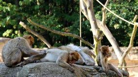 Przygotowywający Barbary makaki Rodzinnych zbiory wideo