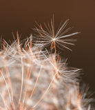 Przygotowywający latać - pojedynczego dandelion ziarna wokoło oddzielać Obraz Stock