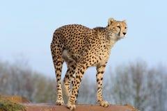 przygotowywający geparda dosiad Obrazy Royalty Free