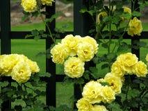 przyjaźń, żółte róże obrazy stock