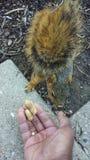 Przyjaciel wiewiórka Fotografia Stock
