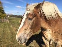 przyjacielski konia Zdjęcia Stock