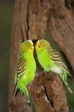 przyjazne papużek Fotografia Stock