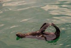 Przylądek futerkowa foka w oceanie zdjęcie royalty free