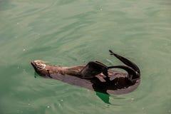 Przylądek futerkowa foka w oceanie zdjęcia stock