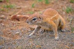 Przylądek Zmielona wiewiórka fotografia royalty free