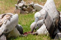 Przylądków sępy współzawodniczy dla jedzenia obraz stock