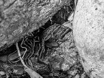 Przylądek żab Rzeczny Matować zdjęcie stock