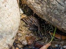 Przylądek żab Rzeczny Matować obrazy stock
