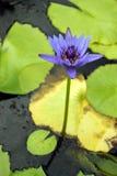 Przylądek błękitne wody leluja obraz stock