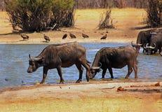Przylądek Bawolia pozycja krawędź mały waterhole w Hwange narodu parku, Zimbabwe obrazy stock