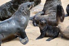 przylądek brzegowy futerkowy Namibia pieczętuje kośca Obrazy Royalty Free