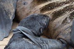 przylądek brzegowy futerkowy Namibia pieczętuje kośca Zdjęcia Stock
