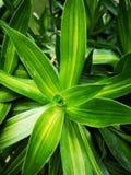 Przylądek Dobra nadzieja, Dracaena†‹tree†‹plant†‹ zdjęcie royalty free