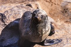 Przylądek Futerkowa foka obraz stock