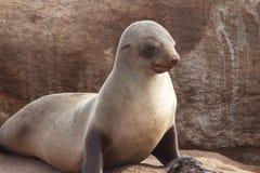Przylądek Futerkowa foka zdjęcia stock