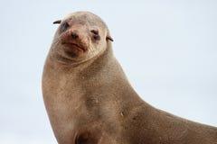 Przylądek Futerkowa foka fotografia royalty free