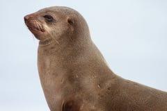 Przylądek Futerkowa foka obrazy stock