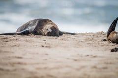 Przylądek futerkowa foka kłaść na plaży Zdjęcia Royalty Free