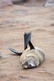 Przylądek Futerkowe foki Fotografia Stock