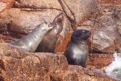 Przylądek Futerkowe foki zdjęcie stock