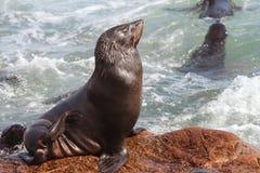 Przylądek Futerkowe foki zdjęcia stock