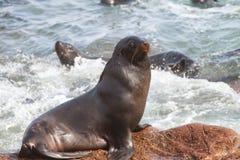 Przylądek Futerkowe foki fotografia royalty free
