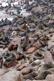 Przylądek Futerkowe foki przy przylądka krzyżem w Namibia Zdjęcia Royalty Free
